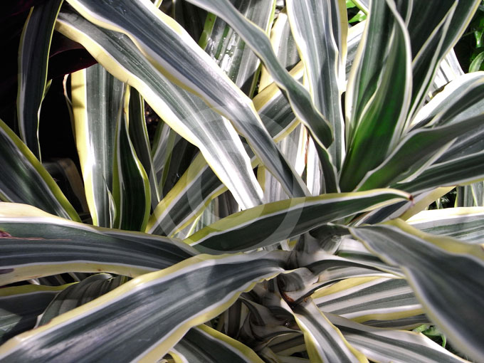 Dracaena fragrans Lemon Lime | Dracaena information & photos